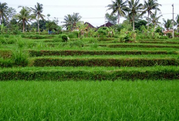 rijstveld-bali