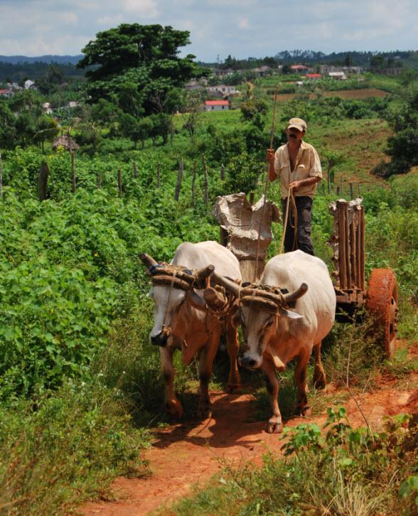 Boer op ossenkar in Cuba