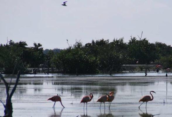 Flamingo's in het Parque Nacional de Montemar op het schiereiland van Zapata, Cuba