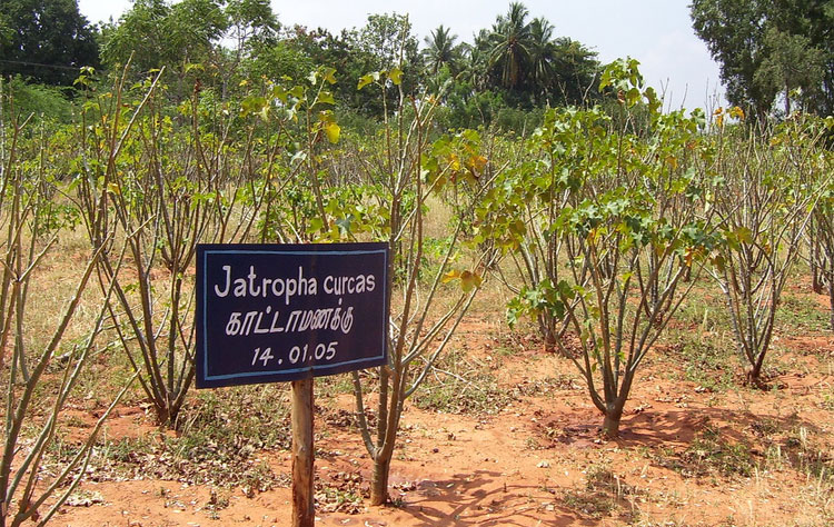 Klimaatnoot Jatropha Curcas in Mali