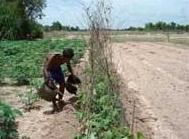 Verbouw bonen in Cambodja