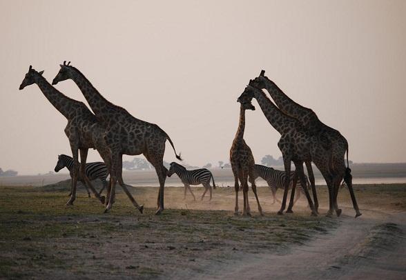 giraffe-zebra