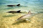 Monkey Mia is bekend door de wilde tuimelaars (bottlenose dolphins) die, na jaren te zijn gevoerd door de lokale vissers, naar de oever zwemmen om met mensen te spelen. Je kunt ze voeren of met ze zwemmen in het heldere, azuurblauwe water.