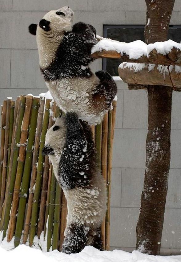 Pandaberen in de sneeuw
