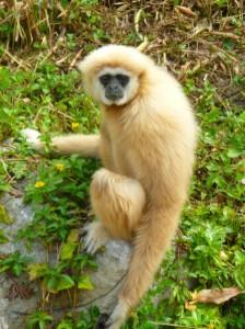 Een gibbon is een soort mensaap die voorkomt in Zuidoost Azië. Ze leven in de boomtoppen van het regenwoud.