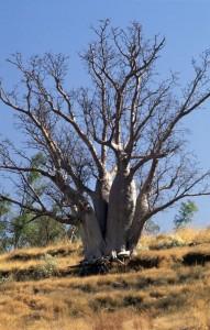 De Australische baobab staat in Australië bekend als boab