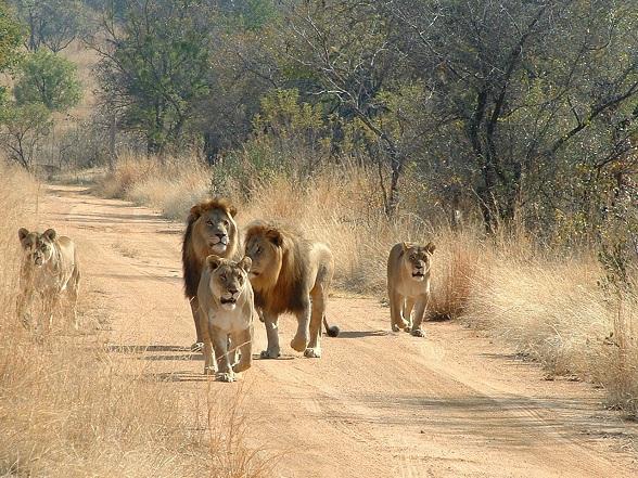Een inmiddels wereldberoemd filmpje dat meer dan 61 miljoen keer is bekeken: 'Battle at Kruger'. Nog nooit is de strijd op leven en dood in het dierenrijk zo indrukwekkend in beeld gebracht als in dit amateurfilmpje op Youtube.