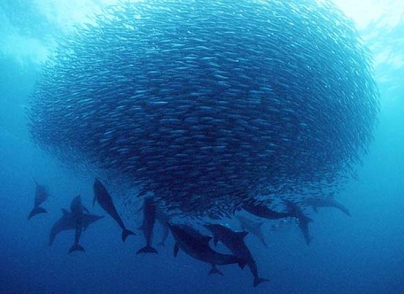 De sardine run in Zuid-Afrika is een van de grootste natuurlijke migraties in zijn soort op aarde.