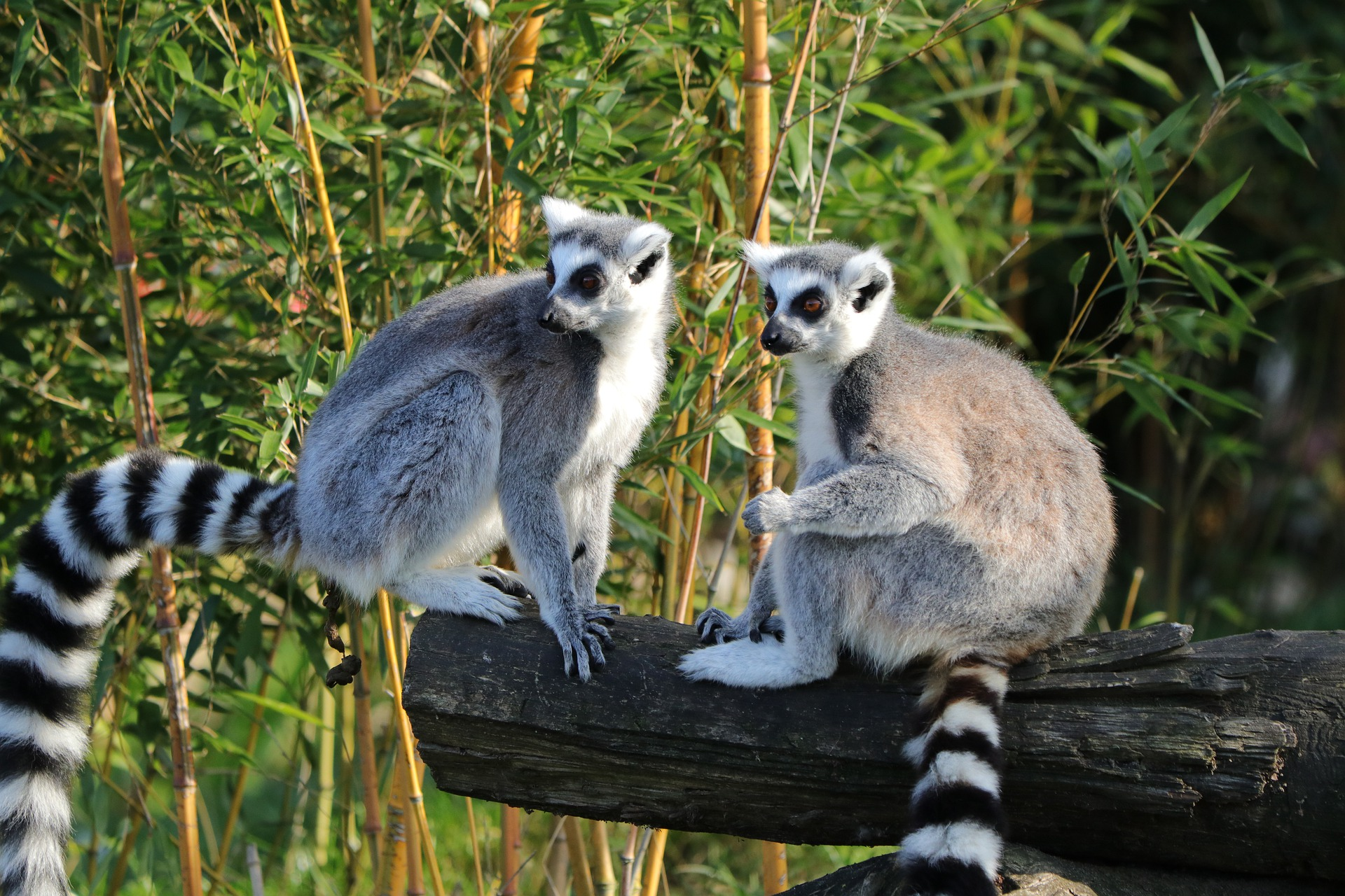 De beroemde maki's van Madagaskar