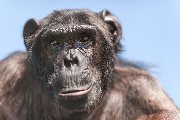 Deze week kon chimpansee Mojo voor het eerst in meer dan 30 jaar van de buitenlucht genieten. Na al die tijd opgesloten te zijn geweest in een donkere en muffe garage in België kwam hij in maart 2011 naar Stichting AAP.