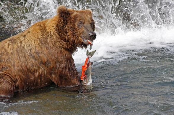 Etende beren in Alaska