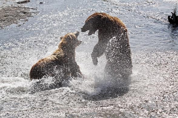 Vechtende beren