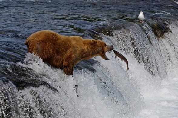 Vissende beer