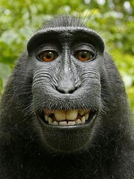 Zwarte makaak steelt camera en vereeuwigt zichzelf
