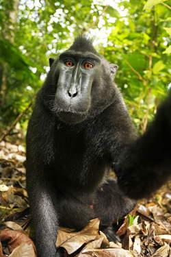 Zwarte makaken, Sulawesi, Indonesie
