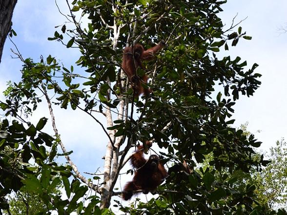 Zo zagen we onze eerste orang-oetans in het wild bij Pondok Tanggui, erg indrukwekkend!