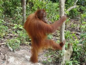 Een jonge orang oetan op Borneo