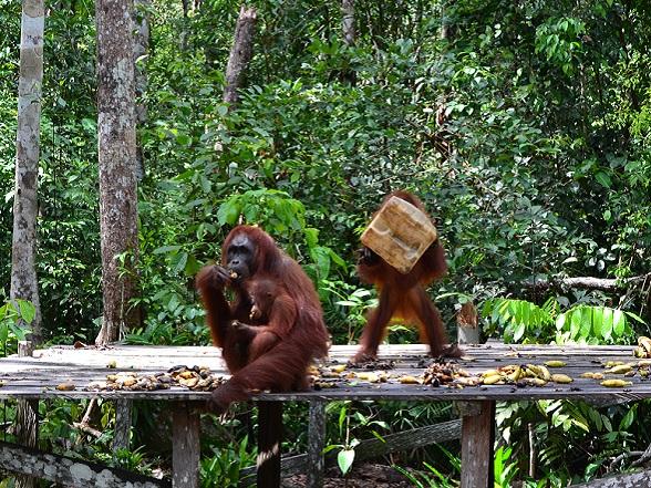 Bij Pondok Tangui en Camp Leaky worden verweesde orang-oetans gerehabiliteerd totdat ze weer terug kunnen keren naar de wildernis.