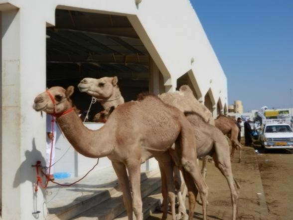 Kamelenmarkt in Sinaw