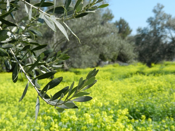 olijfbomen Evia