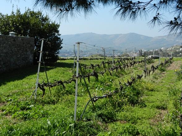 wijnstokken Evia