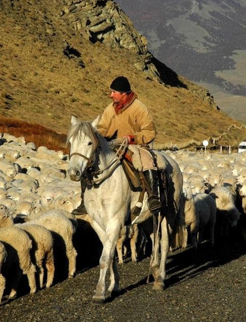 Een Chileense gaucho hoedt zijn kudde schapen