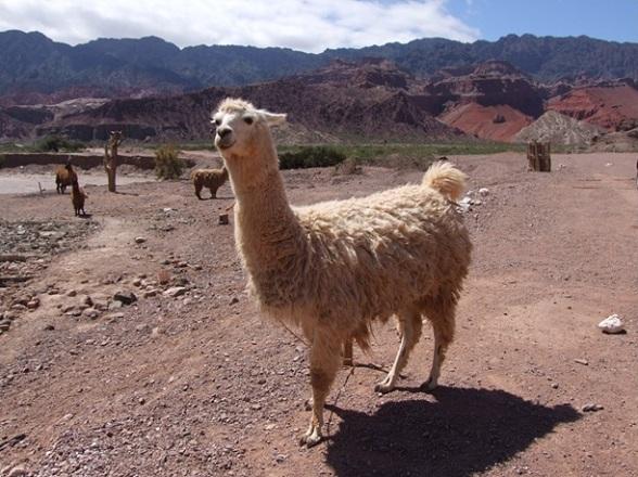 Een lama in de bergen van Cafayate