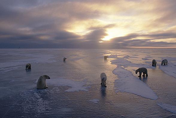 Een groep IJsberen langs de Hudson Bay, Canada.