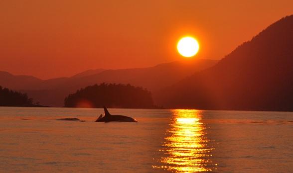 Orka tijdens zonsondergang