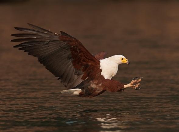 Een fractie van een seconde later al zit de zeearend vlakbij de vis, klauwen vooruit, een machtig moment: foto!