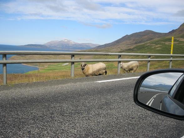 Eén van de dingen waar je tijdens het autorijden in IJsland op bedacht moet zijn, is het oversteken van schapen
