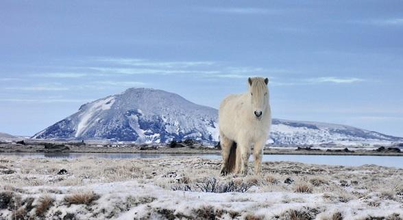 Paard bij Myvatn