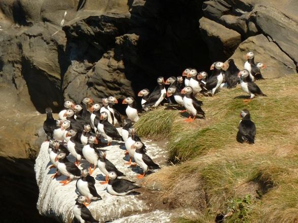 Papegaaiduikers op Drangey Island