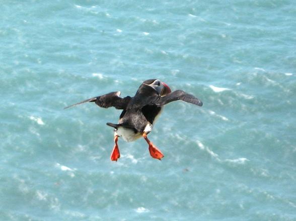 Vliegende puffin