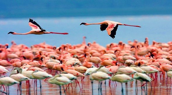 Flamingos Lake Nakuru, Kenya