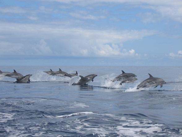 Dolfijnen op de Azoren