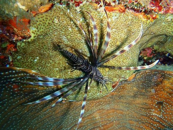 Curious2dive heeft respect voor de biodiversiteit. Hans Pleij is een enorm ervaren duikinstructeur die iedere beginner onmiddellijk op zijn gemak stelt en een goed gevoel voor humor heeft. Hans werkt bij voorkeur kleinschalig en neemt alle tijd voor jou als klant. Hans is een gezellige vent met veel kennis van Curaçao. Hij spreekt de lokale taal vloeiend waardoor je op leuke plaatsen komt