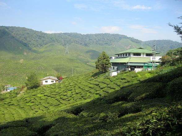 Liefhebbers van koffie komen hier bedrogen uit, want in de Cameron Highlands staat alles in het teken van thee. Met het planten van de eerste theestruiken in 1885 legden de Britten de fundering voor wat tegenwoordig het grootste theegebied van Maleisië is.