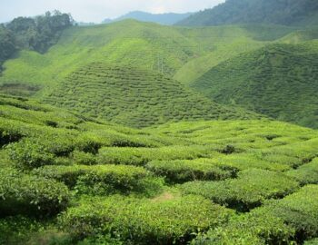 De Cameron Highlands: trek in thee