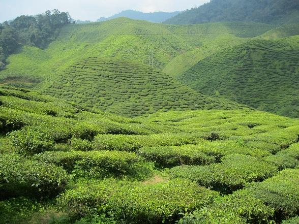 Wil je tijdens je reis door Maleisië even ontsnappen aan de warmte? Bezoek dan de Cameron Highlands, het hoogst gelegen gebied van het Maleisische vasteland. Naast de koelte geniet je hier vooral van de dingen waar de Cameron Highlands om bekend staan: thee en aardbeien.
