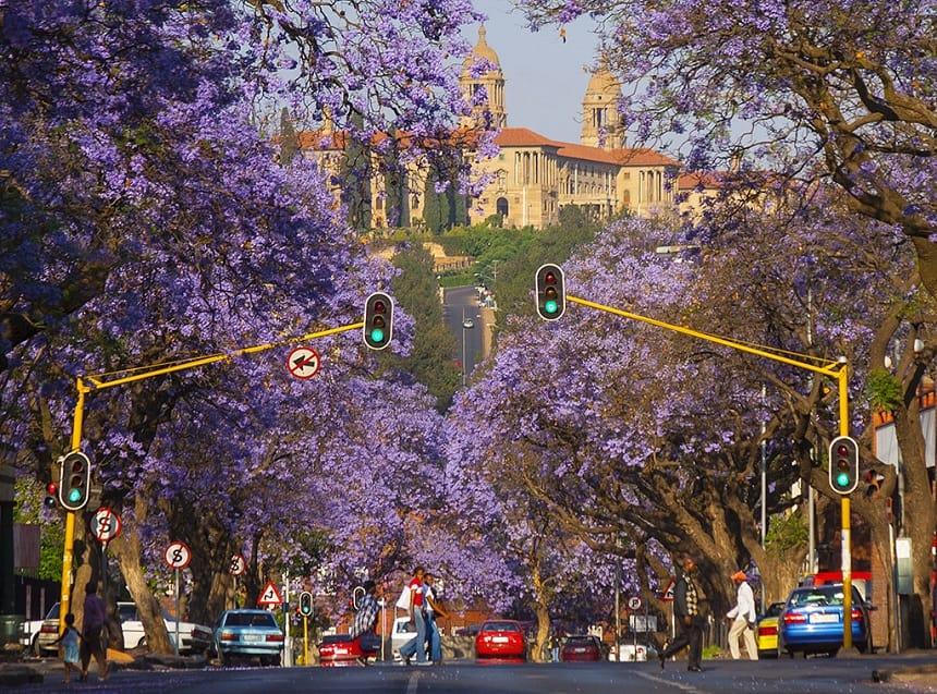 Jacaranda bomen in Pretoria