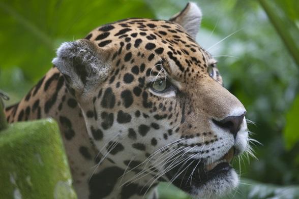 Jaguar Iquitos