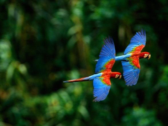 Kleurrijke ara's in Boliviaanse jungle