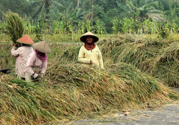 Rijst oogsten op Noord Lombok