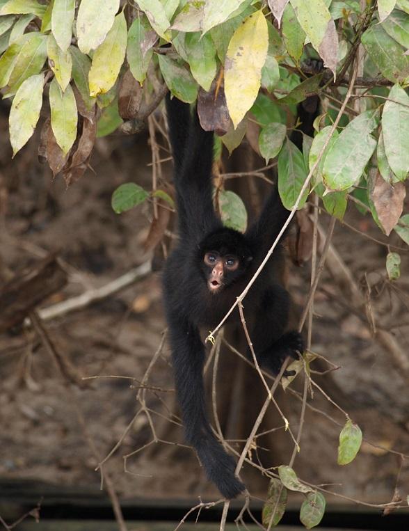 Aapje Amazone