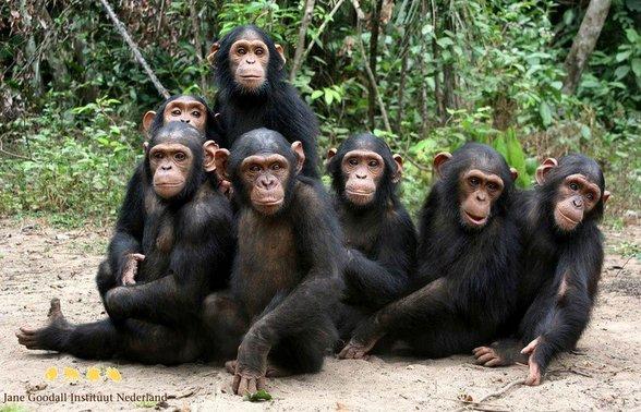 Congo, de nieuwe safari bestemming van Afrika Chimpanzee Jane