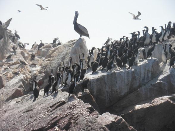 pelikanen en pinguins ballestas islands