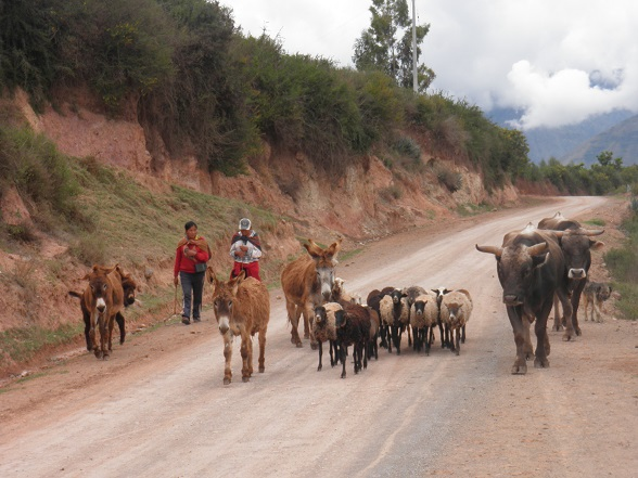 traditioneel geklede vrouwen met hun ezels en schapen en koeien