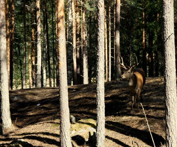Wie stil is, kan in het bos verschillende wilde dieren spotten. Herten, elanden en rendieren, maar ook beren.