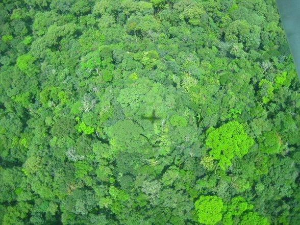 Guyana's broccolibos